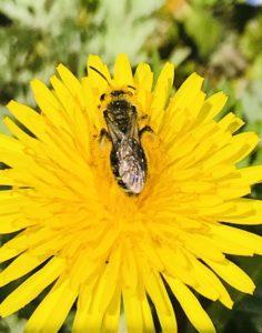 タンポポにミツバチ
